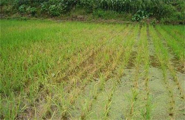 水稻肥害症状及防治措施