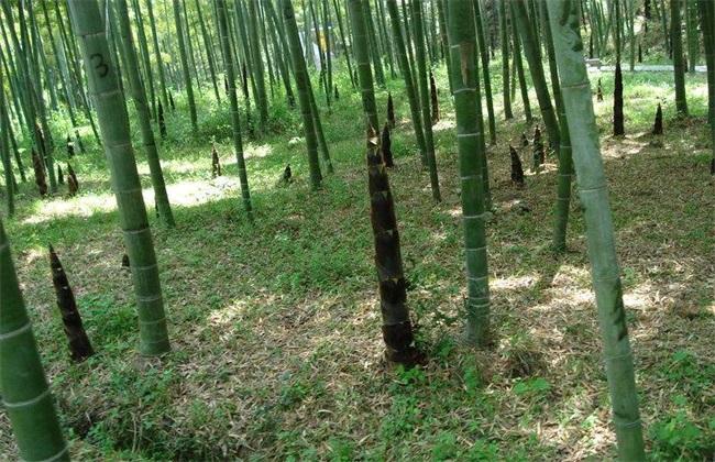 毛竹 种植 技术