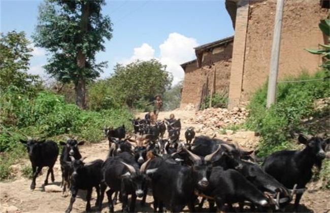 黑山羊 价格 多少钱一斤