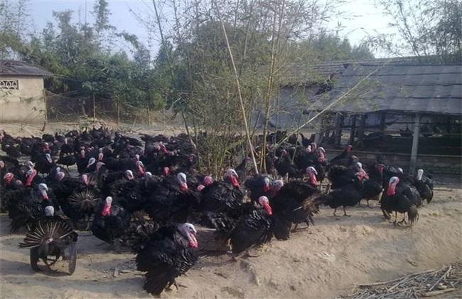 火鸡 养殖 技术