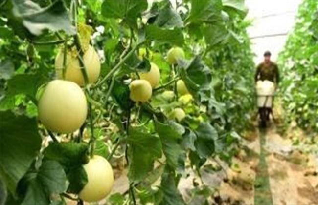 哈密瓜的施肥技术