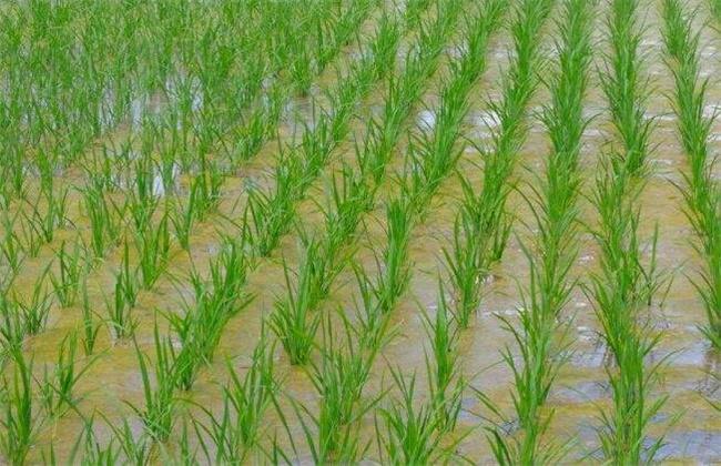 水稻洪涝灾害后该怎么办
