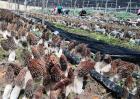 羊肚菌种植的出菇管理技术