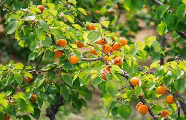 杏树修剪时间与方法