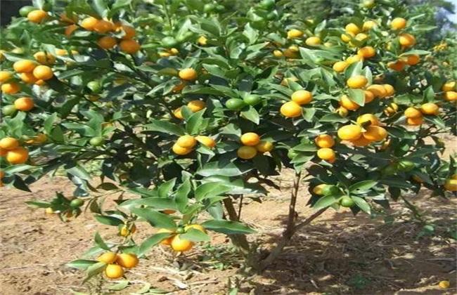 金桔 种植 效益