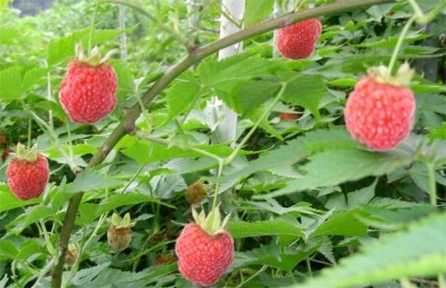 树莓 种植效益 分析