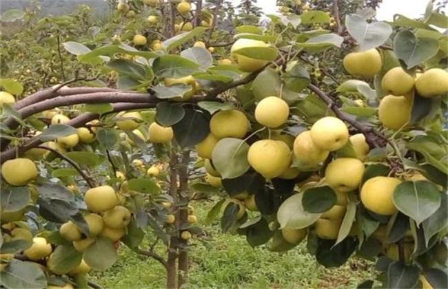 梨树 种植 效益