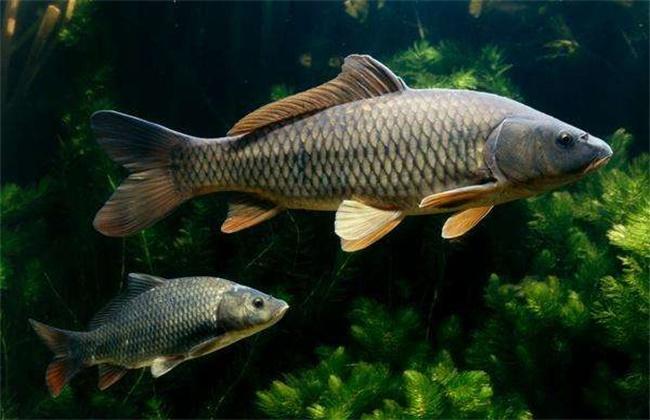 常见淡水鱼类名称及图片