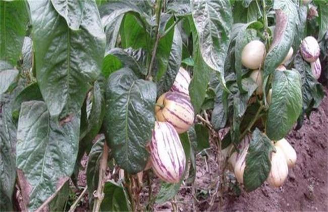 香瓜茄多少钱一斤