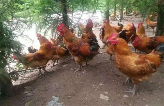 林下养鸡赚钱吗