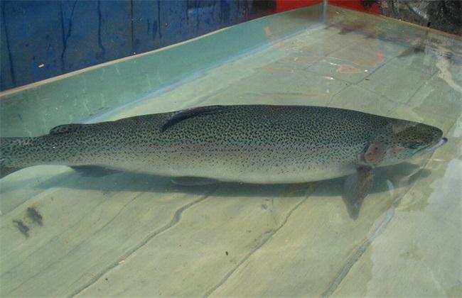 三文鱼 价格 多少钱一斤