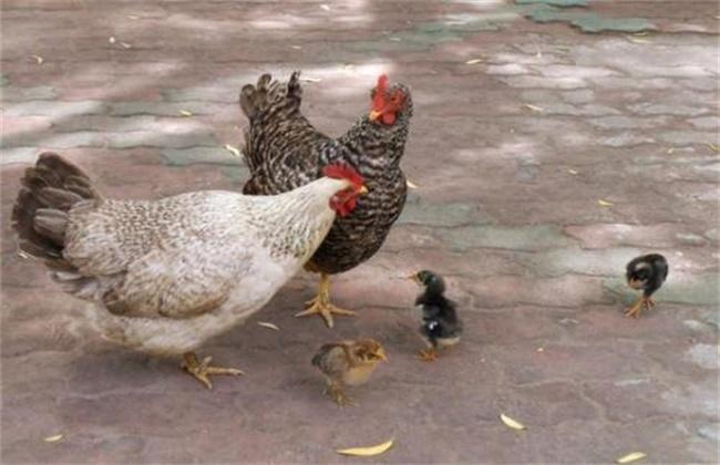 芦花鸡养殖前景