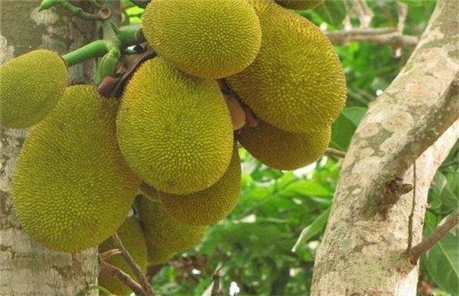菠萝蜜价格多少钱一斤