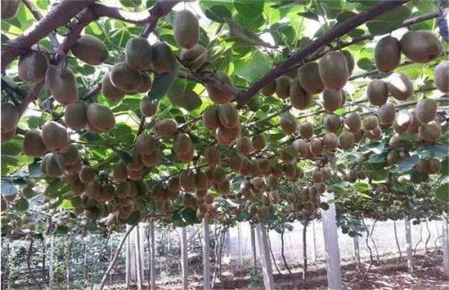 猕猴桃 价格 多少钱一斤