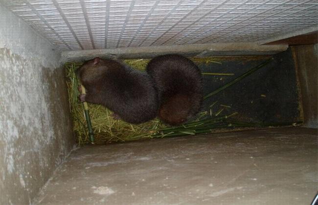 如何提高 竹鼠 繁殖率