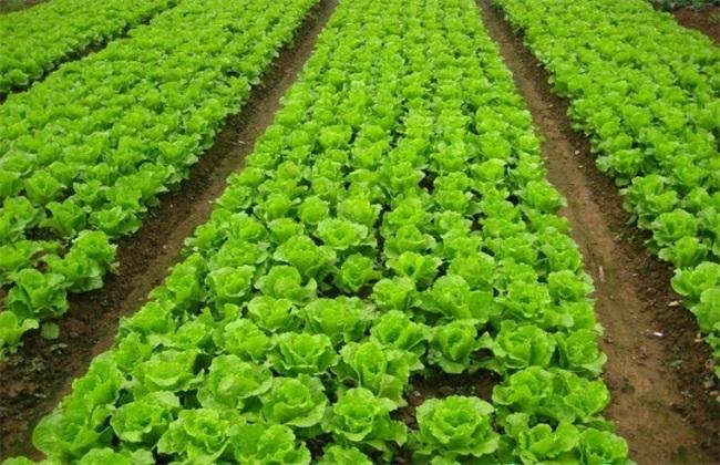 生菜价格多少钱一斤