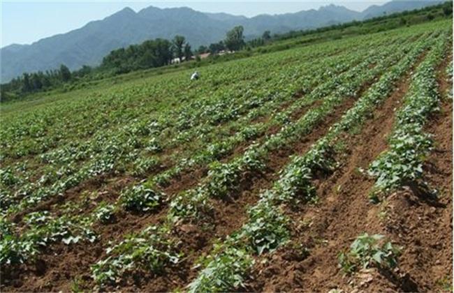 紫薯 育苗 技术