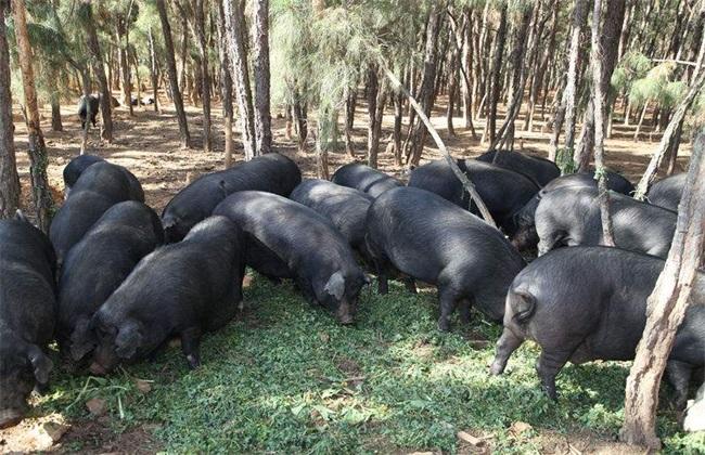 10头黑猪养殖 养殖成本 养殖盈利