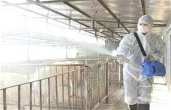 猪场石灰消毒方法及注意事项