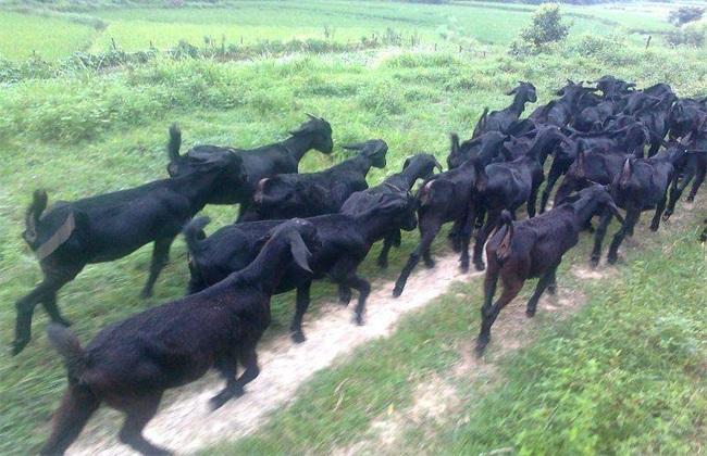 养30只黑山羊 成本 效益
