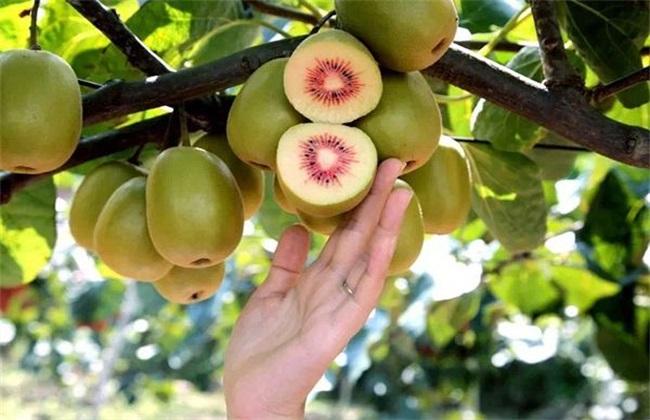 种植10亩红心猕猴桃需投资多少