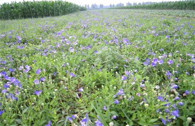 亩收益上万 种植品种 香椿