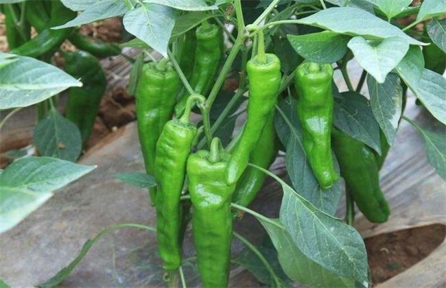 种植10亩辣椒 成本 利润 风险