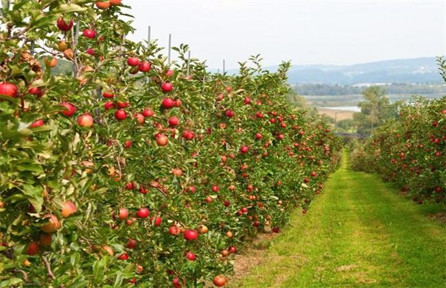 种植10亩苹果一年能赚多少钱