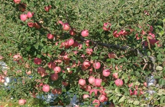 种植10亩苹果一年 成本 利润