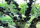嘉宝果种植的注意事项