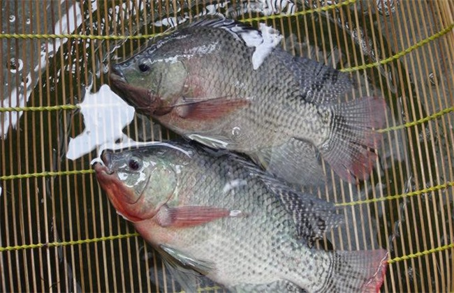 养一亩罗非鱼 成本 利润 前景