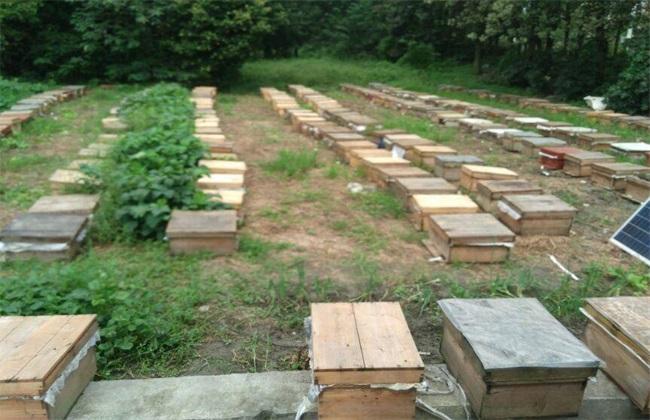养10箱蜜蜂 利润 成本 前景