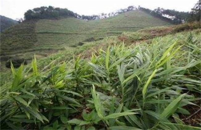 10亩生姜 种植利润 成本 前景
