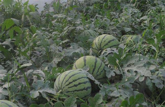 种10亩西瓜 赚多少钱 成本