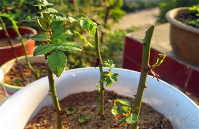 玫瑰花 扦插方法 繁殖技术