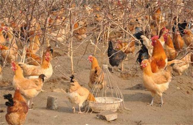鸡食盐中毒怎么办