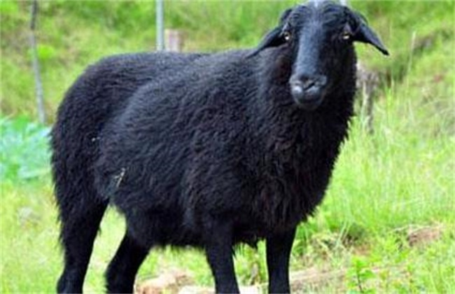 乌骨羊养殖技术