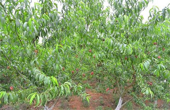 桃树早衰原因及防治措施