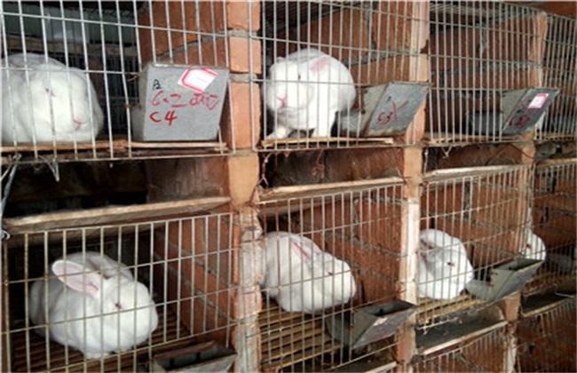 母兔养殖 不孕 受孕率低 原因