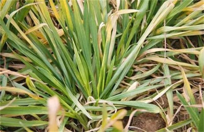 小麦黄化原因及防治方法