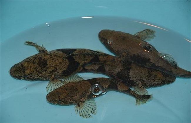 笋壳鱼 养殖 日常管理