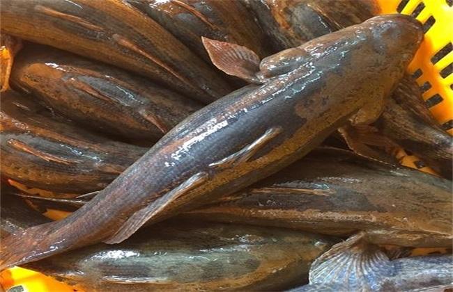 笋壳鱼 疾病 防治技巧