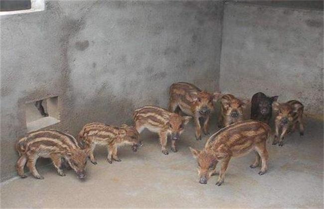 特种野猪养殖前景如何