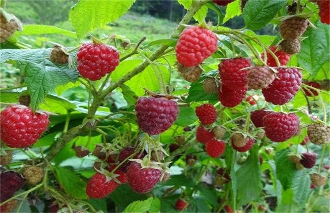 树莓种植管理