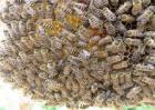 蜜蜂养殖注意事项
