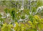 樱桃黄叶原因及防治方法