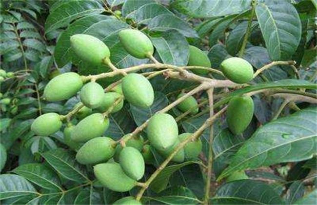 橄榄繁殖方法