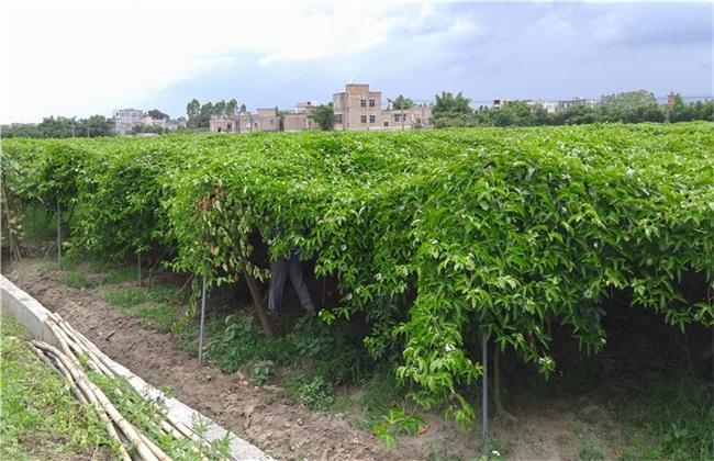 百香果栽培管理技术