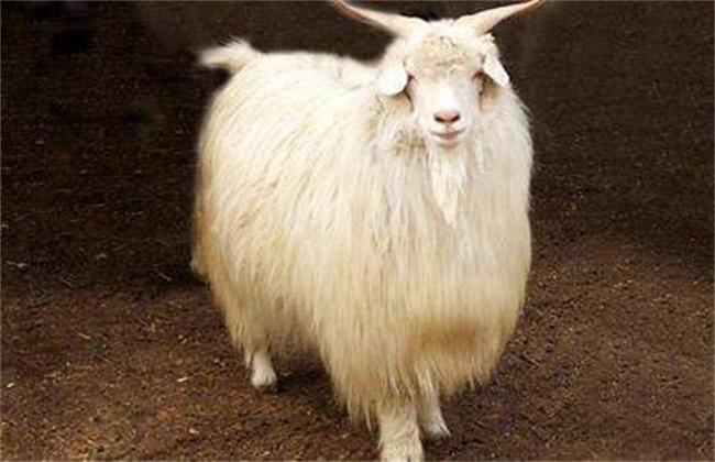 绒山羊饲养管理技术
