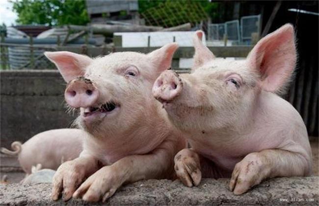 夏季养猪常见问题